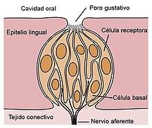 Receptor sensorial - Wikipedia, la enciclopedia libre