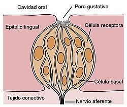 Gusto Wikipedia La Enciclopedia Libre