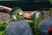 Tauraco leucotis (Weißohrturako - White-cheeked Turaco) - Weltvogelpark Walsrode 2013-03.jpg