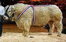 Charolaise wikip dia - Salon de l agriculture resultat concours ...