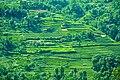 Tea garden antu valleys.jpg