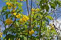 Tecoma Stans (Yellow Elder) (28276901714).jpg