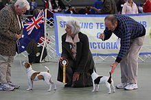 Tenterfield Terrier 01.jpg