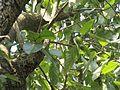 Terminalia chebula (Myrobalan) leaves in RDA, Bogra 03.jpg