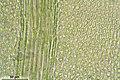 Thamnobryum alopecurum (e, 144754-474748) 6535.JPG