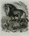 The Barbary Lion.jpg