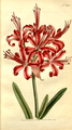 The Botanical Magazine, Plate 294 (Volume 9, 1795).png