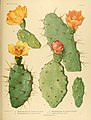 The Cactaceae (Plate XXVI) (6026509756).jpg