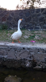 The Call of a Swan.png