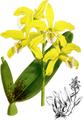 The Orchid Album-01-0071-0023-Laelia xanthina-crop.png