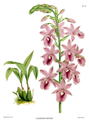 The Orchid Album-01-0095-0031-Calanthe veitchii.png