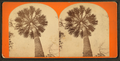 The Palm tree, from Robert N. Dennis collection of stereoscopic views.png