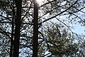 The Sun comes through the trees in Finland 2020.jpg