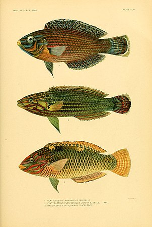 The fishes of Samoa (Plate XLVI) (5998450851).jpg