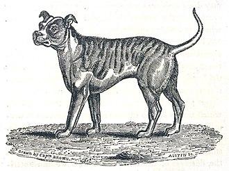 Old English Bulldog - The Bull-Dog. Thomas Brown, circa 1829