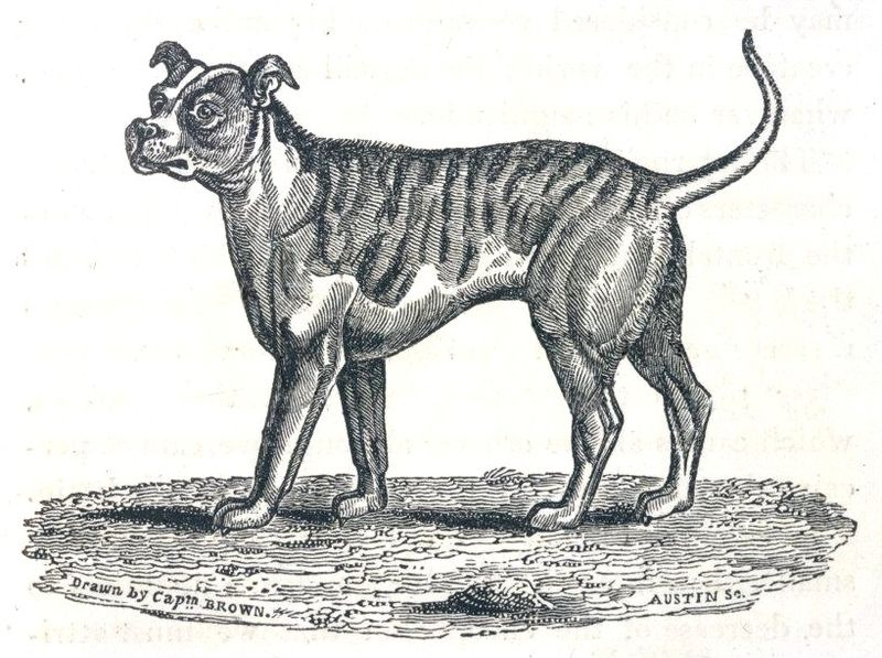 File:Thomas Brown - The Bull-Dog.jpg