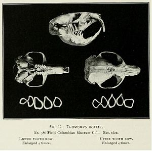 Botta's pocket gopher - Botta's pocket gopher skull and teeth from Elliot 1901