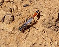 Thread-waisted Wasp collecting grains of sand to seal nest chamber. (Ammophila sp) - Flickr - gailhampshire.jpg