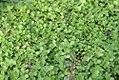 Thymus Minus 0zz.jpg
