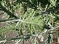 Thymus herba-baronai 'Caraway Thyme' (Labatae) leaves.JPG