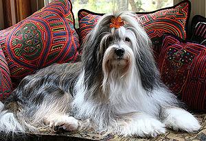 Tibetan Terrier - Image: Tibetan Terrier Dali 3