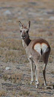 Goa (antelope) species of antelope that inhabits the Tibetan plateau