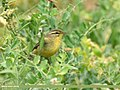 Tickell's Leaf Warbler (Phylloscopus affinis) (44552752464).jpg