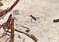 Tiger Beetle (Heptodonta analis) (15147676483).jpg