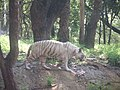 Tiger standing near trees.jpg