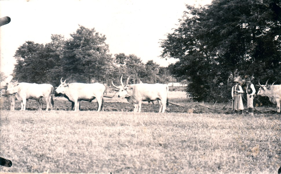 Tilling with Hungarian Grey cattles