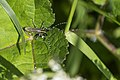 "Tiny ""Distelboktor (Agapanthia Villosoviridescens)"" (17582593354).jpg"