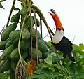 Toco Toucan (Ramphastos toco) eating Papaya (Carica papaya) (28378476504).jpg