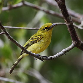 Tolmomyias flaviventris - Yellow-breasted Flycatcher.JPG