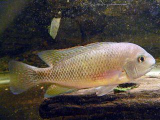 <i>Talamancaheros</i> Genus of fishes