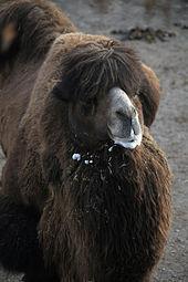 Trampeltier (Camelus ferus) Zoo Salzburg 2014 a.jpg