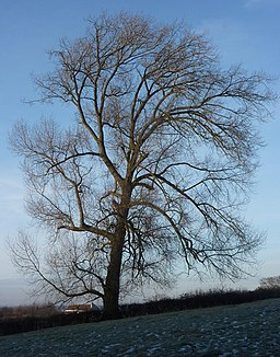 Tree in winter - geograph.org.uk - 1638543
