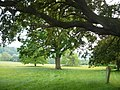 Tree planted by William Gladstone on the Holnicote Estate - geograph.org.uk - 821384.jpg
