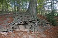 Tree roots, Roundhay Park.jpg