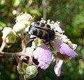 Trichius gallicus - Flickr - gailhampshire (1).jpg