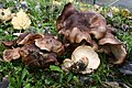 Tricholoma populinum 1129830.jpg
