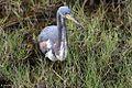 Tricolored Heron 2406.jpg