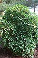 80px-Trochodendron-aralioides-total.JPG