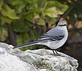 Tropical Mockingbird 1 (4355562974).jpg