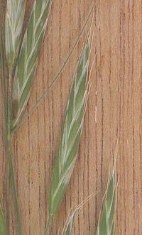 Trosdravik Bromus racemosus subsp. commutatus aartjes
