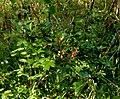 Trubbhagtorn, liten planta.jpg