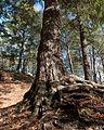 Tsuga canadensis (Canadian Hemlock) (31874285701).jpg