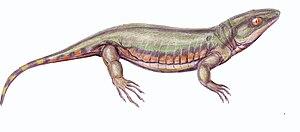 Tuditanomorpha - Tuditanus punctulatus