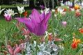 Tulipes en fleur au Jardin Massey de Tarbes 10.jpg