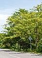 Tunku Sabah Kapok-Tree-01.jpg