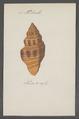 Turbinella spec. - - Print - Iconographia Zoologica - Special Collections University of Amsterdam - UBAINV0274 084 04 0026.tif